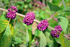 Beautyberry Royalty Free Stock Photos