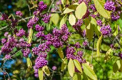Beautyberry buske detalj royaltyfria bilder