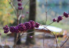 Beautyberry purple berry Royalty Free Stock Photos