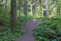 Beautyful杉木与土路的森林风景 库存照片