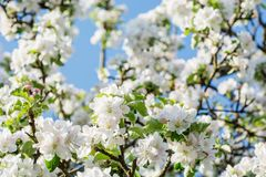 Beautyful苹果在蓝天背景的春天开花 库存图片