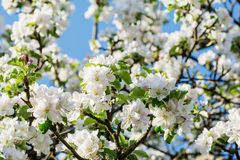Beautyful苹果在蓝天背景的春天开花 免版税库存图片