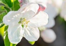 Beautyful苹果在蓝天背景的春天开花 图库摄影