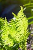 Beautyful蕨在阳光把绿色叶子自然花卉蕨背景留在 免版税库存照片