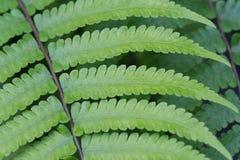 Beautyful蕨留给绿色叶子自然花卉蕨 免版税库存图片