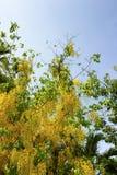 beautyful дерево и окно в крыше золотого ливня стоковое фото rf
