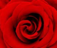 beautyful красный цвет макроса поднял Стоковое Изображение RF