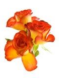 beautyful розы Стоковые Изображения RF