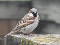 Beautyful doux amical britannique d'oiseau Photographie stock