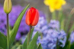 Beautyful e flores colerful da mola em Alemanha Imagem de Stock