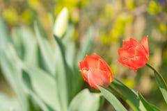 Beautyful e flores colerful da mola em Alemanha Foto de Stock Royalty Free
