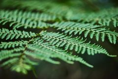 Beautyful-Farne verlässt grünem Laub natürliches Blumenfarn backgro lizenzfreie stockfotos