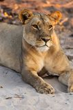 Beautyful female lion in chobe national park in botswana at the chobe river. Beautyful female lion in chobe national park in botswana at chobe river royalty free stock image