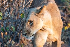 Beautyful female lion in chobe national park in botswana at the chobe river. Beautyful female lion in chobe national park in botswana at chobe river stock images