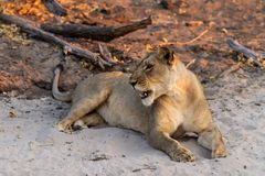 Beautyful female lion in chobe national park in botswana at the chobe river. Beautyful female lion in chobe national park in botswana at chobe river royalty free stock photo