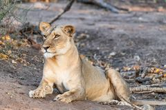 Beautyful female lion in chobe national park in botswana at the chobe river. Beautyful female lion in chobe national park in botswana at chobe river royalty free stock images