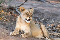 Beautyful female lion in chobe national park in botswana at the chobe river. Beautyful female lion in chobe national park in botswana at chobe river stock photo