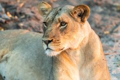 Beautyful female lion in chobe national park in botswana at the chobe river. Beautyful female lion in chobe national park in botswana at chobe river royalty free stock photos