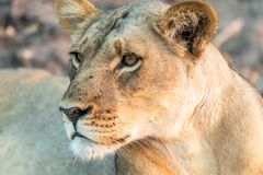 Beautyful female lion in chobe national park in botswana at the chobe river. Beautyful female lion in chobe national park in botswana at chobe river stock photography