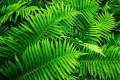 Beautyful fern foliage royalty free stock images