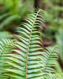 Beautiful fern leaves green foliage natural floral background in the forest.  royalty free stock images