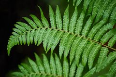 Beautyful ferns leaves green foliage natural floral fern background in sunlight. Beautyful ferns leaves green foliage natural floral fern background royalty free stock images