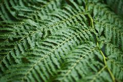 Beautyful ferns leaves green foliage natural floral fern background in sunlight. Beautyful ferns leaves green foliage natural floral fern background royalty free stock photo
