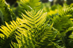 Beautyful ferns leaves green foliage natural floral fern backgro Stock Images