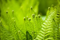 Free Beautyful Ferns Leaves Green Foliage Natural Floral Fern Background In Sunlight. Stock Photo - 111862160