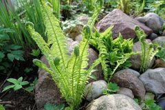 Beautyful ferns leaves green foliage natural floral fern background in sunlight.  royalty free stock images