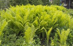 Beautyful ferns leaves green foliage natural floral fern background in sunlight.  stock photography