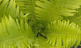 Beautyful ferns leaves green foliage natural floral fern background in sunlight.  stock image