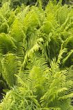 Beautyful ferns leaves green foliage natural floral fern background in sunlight.  stock photos