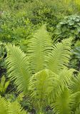 Beautyful ferns leaves green foliage natural floral fern background in sunlight.  stock images