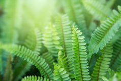 Beautyful ferns leaves green foliage natural floral fern background in sunlight stock photo