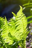 Beautyful ferns leaves green foliage natural floral fern background in sunlight. royalty free stock photos