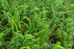 Beautyful ferns leaves green foliage natural floral fern background in woodland garden royalty free stock image
