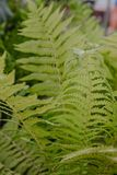 Beautyful ferns leaves, natural floral fern background Royalty Free Stock Image
