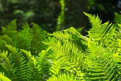 Juicy greens of the fern Stock Photography