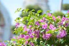 Beautyful flower purple color. The purple flower at Wat Arun Temple in Bangkok very beautyful Stock Photos