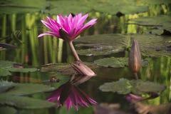 Beautyful flower. Beautyful tropical flower of thailand on sunrise Royalty Free Stock Photography