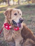 Beautyful hund - golden retriever arkivfoto