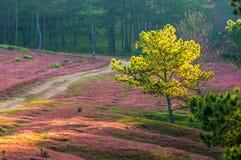Da lat, lam dong, Vietnam- feb 12, 2017:The beautyful landscape of da lat city, pinkgrass field on the pine hill, the grass bbloo Stock Image