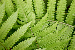 Beautyful leaf of fern is close-up background stock photos