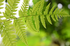 Beautyful leaf of fern is close-up background royalty free stock photo