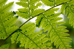 Beautyful leaf of fern is close-up background stock images