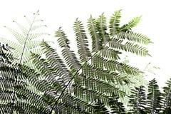 Beautyful leaf of fern Stock Photography