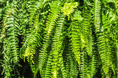 Beautyful leaves of fern (Cyathea lepifera) Royalty Free Stock Photo