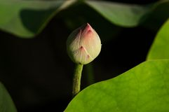 Beautyful lotus bud and leaf in pond royalty free stock photo