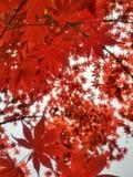Beautyful maple leafs flutter. Red maple leafs beauty beautyful flutter closeup nature autump autumn spring asian korea travel trip background wallpaper sunlight royalty free stock images